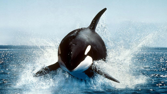 Killer Whales Running Down a Speedboat