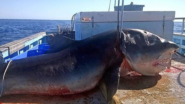 Giant Tiger Shark Caught off Tweed Heads