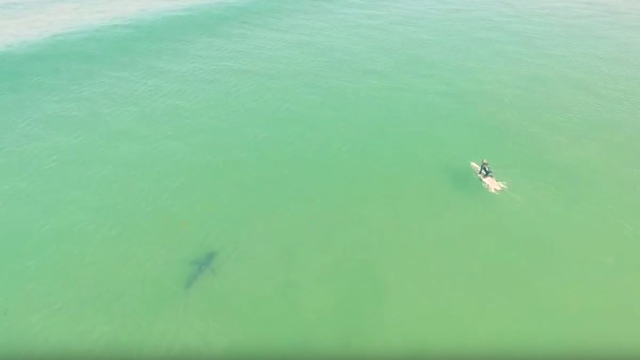 Drone Video of Shark Near Surfer at Pismo Beach